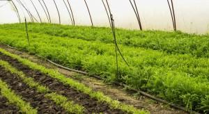 Krajowa uprawa rukoli i roszponki wciąż nieznaczna