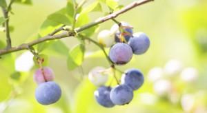 Zyskowne jagody. Zainwestuj w uprawę borówki wysokiej