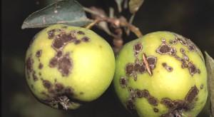 Parch jabłoni - poznany ale wciąż groźny