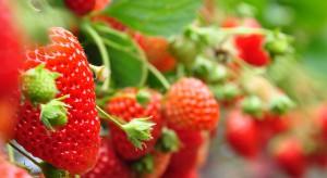 Embargo a sprzedaż truskawek w 2015 r. Plantatorzy szukają nowych rynków