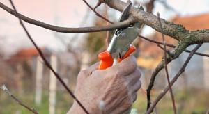 Trwa sezon na cięcie drzew owocowych
