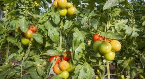 Choroby wirusowe w produkcji pomidorów pod osłonami