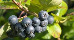 Czy warto inwestować w produkcję owoców aronii?