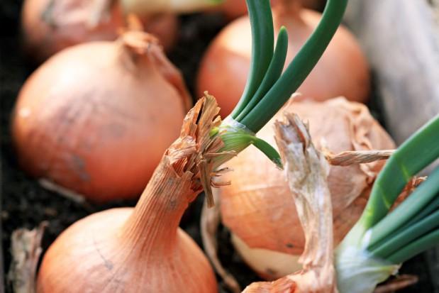 Nawożenie cebuli w okresie wiosennym