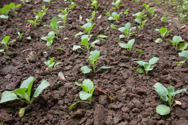 Niedoceniane znaczenie krzemu w produkcji roślinnej