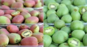 Owoce aktinidii można uprawiać w północno-wschodniej Polsce