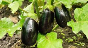 Oberżyna - warto zainwestować w uprawę tego warzywa