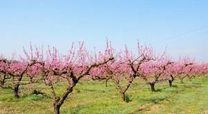 Odpowiednie nawożenie brzoskwiń i moreli wpływa na ich wysokie owocowanie