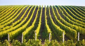 Znaczący spadek produkcji winogron na Krymie