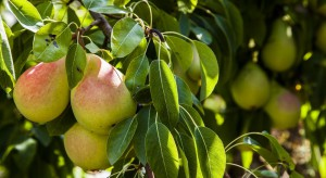 Jak osiągnąć dobre wyniki w uprawie grusz?