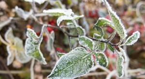 """Zimni ogrodnicy i """"Zośka"""" spustoszą uprawy?"""