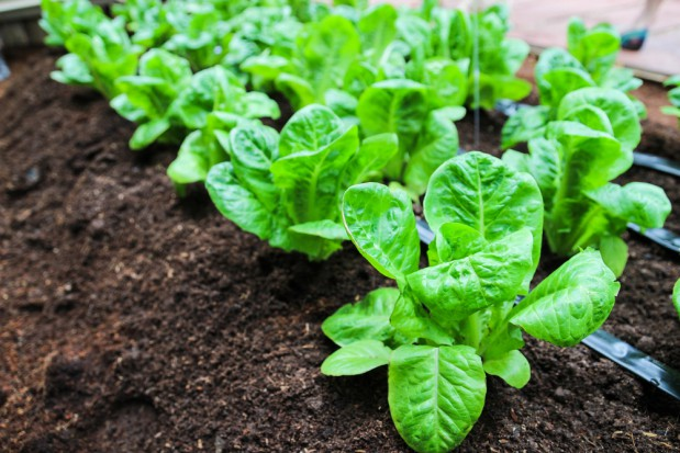 Uprawa sałaty rzymskiej wciąż mało popularna w Polsce
