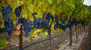 Winorośl pod osłonami może być uprawiana w Polsce na szeroką skalę