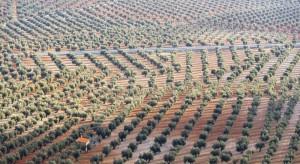 Groźna bakteria Xylella fastidiosa pustoszy europejskie plantacje (video)