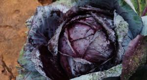 Uprawa kapusty głowiastej czerwonej na zbiór letni i jesienny