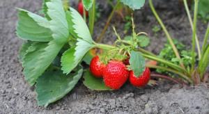 Jakie szkodniki najczęściej występują na plantacjach truskawek?