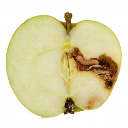 Owocówka jabłkóweczka poważnym zagrożeniem w sadach