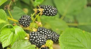 Sterowanie zbiorem owoców jeżyny w uprawie pod osłonami