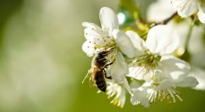 Dzikie pszczoły zapewniają każdemu hektarowi upraw 3251 dol. zysku