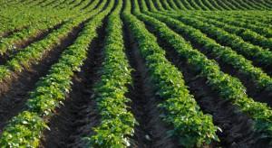 Brak wody znacząco wpływa na wzrost ziemniaków