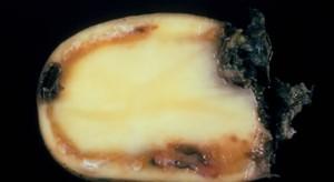 Źródłem Ralstonii solanacearum w Polsce mogły być zaimportowane sadzeniaki ziemniaka