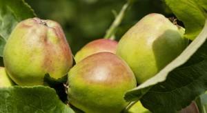 """""""Dokarmianie"""" jabłoni po opadzie czerwcowym"""