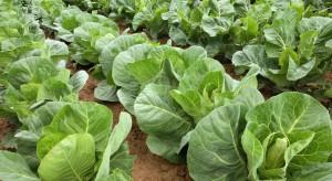 Istotna rola wapnia w uprawach warzyw