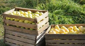 Możliwy rekordowy zbiór jabłek na Ukrainie