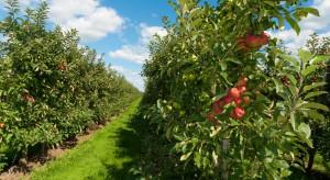 Letnie cięcie jabłoni w sadzie