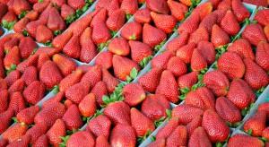 Holendrzy mogą wyprodukować rekordową ilość truskawek