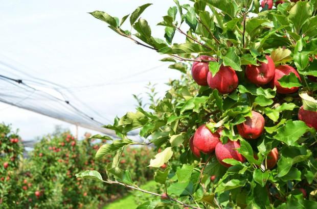 Jak zadbać o odpowiednią wielkość jabłek w obecnym sezonie?