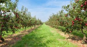 Ukraina: Mniejszy areał sadów, większa produkcja jabłek