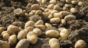 Chiny stały się światowym liderem w produkcji ziemniaka
