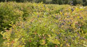 Groźne choroby w uprawie borówki wysokiej – zgorzel i zamieranie pędów