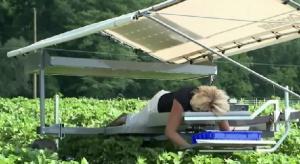Owoce truskawki zbierane na leżąco? Teraz to możliwe!