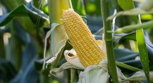 Trwają zbiory wczesnych odmian kukurydzy cukrowej