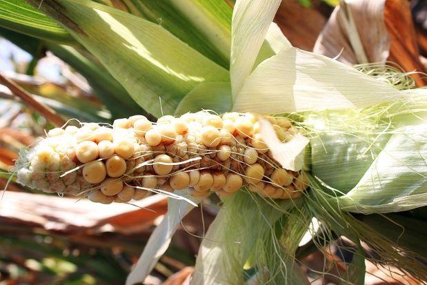 Susza spowodowała słabe wykształcenie kolb kukurydzy w uprawach