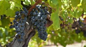 W Polsce zarejestrowano już 95 producentów wina z winogron