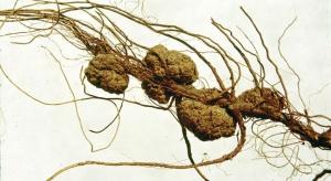 Groźne choroby bakteryjne systemu korzeniowego drzewek owocowych