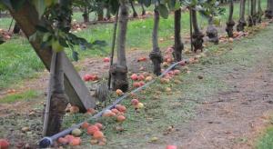 Susza na Ukrainie wpłynie na wielkość zbiorów jabłek