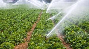Jak wzmocnić plantacje truskawek po okresie upałów?