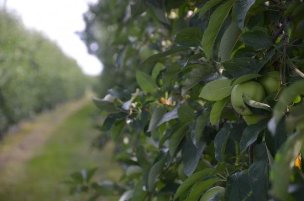 Zmniejszą się zbiory jabłek odmiany Idared, zwiększą - Jonagoreda