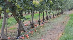 Susza wpłynie na wielkość zbiorów jabłek i śliwek