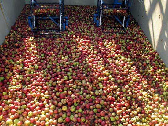 Ceny skupu jabłek przemysłowych sięgają nawet 45 gr/kg. Będą kolejne wzrosty?