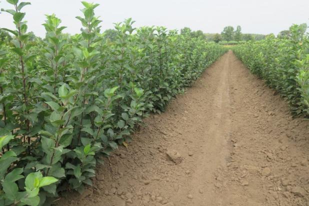 Prezes INSAD-Prusy: Notujemy duże zainteresowanie drzewkami owocowymi (zdjęcia)