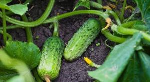 Groźne choroby w gruntowej uprawie ogórka. Sprawdź jak chronić plantację