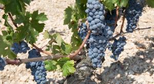 Mączniak rzekomy i prawdziwy – groźne choroby winorośli