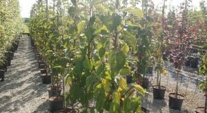 Drzewka owocowe w pojemnikach - jak je produkować?