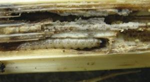 Omacnica prosowianka – zagrożenie dla upraw kukurydzy cukrowej