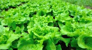 Preparaty na bazie alg – warto włączyć je do technologii nawożenia